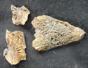 PRIONOTUS 'ROBBIN FISH' REMAINS - PLEISTOCENE, FLORIDA
